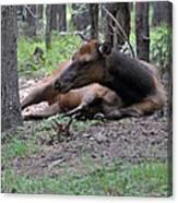 Elk In  Yellowstone Park  Canvas Print