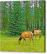 Elk Near Wapiti Campground In Jasper Np-alberta Canvas Print
