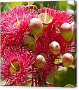 Flowering Gum W Ants Canvas Print