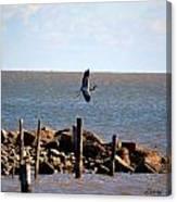 Flying Blue Heron Canvas Print