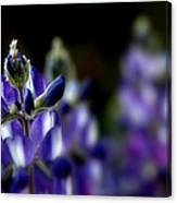 Focused Lupin Canvas Print