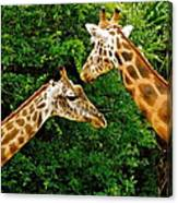 Giraffe's At Lowery Park Zoo  Canvas Print