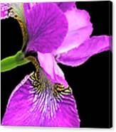 Japanese Iris Violet Black  Canvas Print