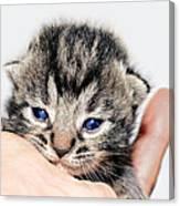 Kitten In A Hand Canvas Print