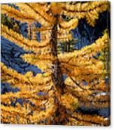 Larch Tree Closeup Canvas Print