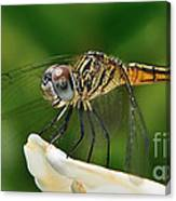 Austrogomphus Dragonfly Canvas Print