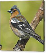 Male Chaffinch Canvas Print