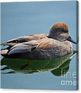 Male Gadwall Duck  Canvas Print
