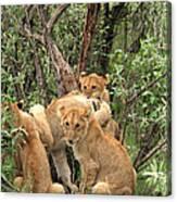 Masai Mara Lion Cubs Canvas Print