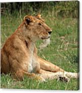 Masai Mara Lioness Canvas Print