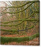 Moss-covered Big Leaf Maple Branches Canvas Print