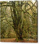 Moss-covered Big Leaf Maple Tree Canvas Print