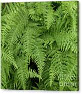 Mountain Ferns Of North Carolina Canvas Print