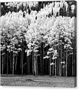 New Mexico Aspens Canvas Print