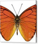 Orange Butterfly Species Appias Nero Neronis  Canvas Print