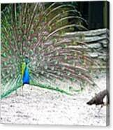 Peacock Making An Impression Canvas Print