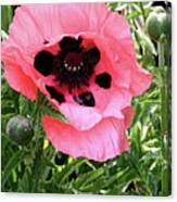 Poppy And Buds Canvas Print