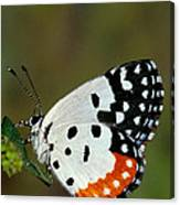 Red Pierrot Butterfly Canvas Print