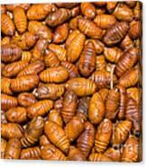 Silkworm Pupae  Canvas Print