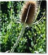 Thistle Plant Canvas Print
