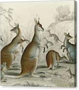 Various Kangaroos  Lord Derby's, Aroe Canvas Print