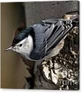 White-breasted Nuthatch Pictures 35 Canvas Print