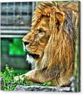 002 Lazy Boy At The Buffalo Zoo Canvas Print