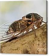 01 New Forest Cicada  Canvas Print