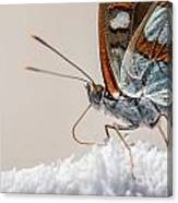 01 Southern White Admiral Butterfly Close Up Canvas Print