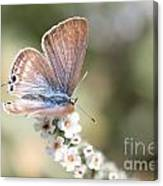 02 Long-tailed Blue Butterfly Canvas Print