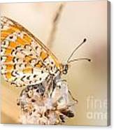 03 Lesser Spotted Fritillary Canvas Print