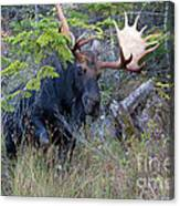 0339 Bull Moose 3 Canvas Print