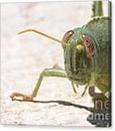 04 Egyptian Locust Grasshopper Canvas Print