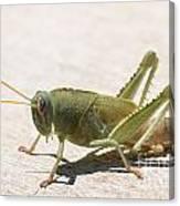05 Egyptian Locust Grasshopper Canvas Print