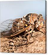 05 New Forest Cicada  Canvas Print