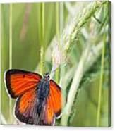07 Balkan Copper Butterfly Canvas Print