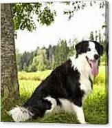 Border Collie In The Nature Canvas Print