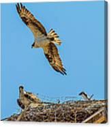 3 Ospreys At The Nest Canvas Print