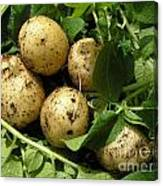 A Bunch Of Fresh New Potatoes Canvas Print