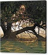 A Tree In Mississippi Canvas Print