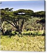 Acacia Trees Canvas Print