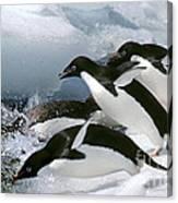 Adelie Penguins Canvas Print