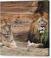 African Lion Couple Canvas Print
