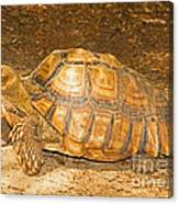 African Spur Thigh Tortoise Canvas Print