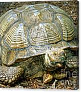 African Spurred Tortoise Canvas Print
