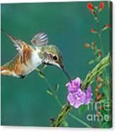 Allens Hummingbird Canvas Print