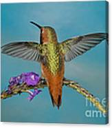 Allens Hummingbird Male Canvas Print
