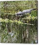 Alligator In Swamp Canvas Print
