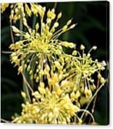 Allium Flavum Or Fireworks Allium Canvas Print