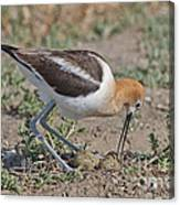 American Avocet And Eggs Canvas Print